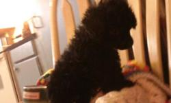 Ckc tiny toy poodles..2 chocolate..4 black call --