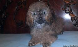 ckc toy poodle puppies sable in color utd on all shots and wormings formore information please call