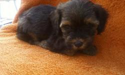 Yorkie poo pups for adoption ckc registered 7 to choose from. call or text us at 478-231-7129 for more information.