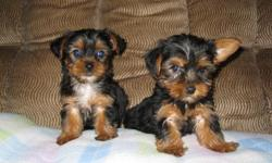 ckc yorkshire terrier puppies 1 female $500.00 2 males $450.00 shots and wormings up to date health guarantee ,born 5/11/2011 black and gold color.if interested call 803-810-6367