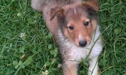I HAVE BEAUTIFUL AKC REGISTERED COLLIE PUPS MALE & FEMALE. THEY ARE CURRENT ON SHOTS AND DEWORMING.THEY ARE ALSO MICROCHIPED, ALL YOU HAVE TO DO IS REGISTER YOUR FAITHFUL FRIEND WITH HOMEAGAIN. IF YOUR LOOKING FOR A LOYAL FAMILY DOG LOOK NO FURTHER. BOTH