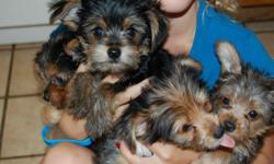 We have a male yorkie pup who weighs 2 and 1/4 pounds and a female yorkie pup who weighs 2 pounds.They are CKC registered. They have had their first set of shots and been wormed. We are asking $250.00 for the male and $350.00 for the female. They are