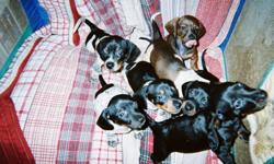 Dachshund Puppies born Nov. 20th - 4 females, 3 males. Four of the seven puppies are beautiful dapples; we are asking $400 for the male dapples and $500 for the female dapples. We also have one black male for $200, and two females, one brown and one