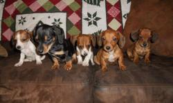 I have the two red females left (the 2 on the right-hand side of the picture). The one on the far right is a little darker than the other one. They were born on November 3, 2010. The mother is an American Cream and the father is a black and tan piebald.