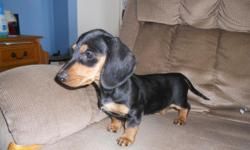 I have pure bred Dachshund puppies for sale. I have 1 female, black & tan (smooth coat) and 1 black & tan male (wire coat). They have had their 1st & 2nd shot and are up to date on their wormings.They are 12 weeks old, D.O.B 11/15/10. They are full of