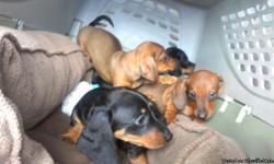Dachshund puppies 9weeks old will be ready in couple of weeks 2 females 2 males they are dewormed and first shots.....