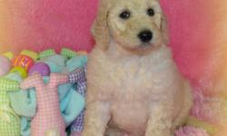 Do you think I'm a cutie? If so, then Hi, I'm Daisy! The cutest, most sweetest Labradoodle ever! I was born on January 30th,2014! Many people like me for my pretty, soft cream fur, my gentle eyes, and amazing smile! People are the greatest! That's why I