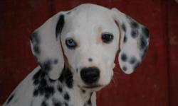 I have 4 CKC registered dalmatian puppies for sale. They are upto date on shots. Have started obediance training! They are 12 weeks old and are looking for a new home! They are all very friendly! I have more pictures if requested. Come on out and pick