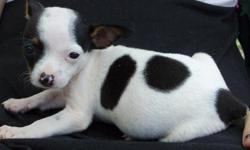 Dancer is a mini tri color piebald female CKC registered rat terrier. She has had all shots and wormings and is ready to go.