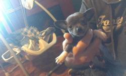 Hi I have a beautiful female malchi for sale she would come with her first vaccines, wormed and DBR desighner breed registry and food starter kit her father is an apple head chocolate chihuahua and her mother is a white with black markings malchi