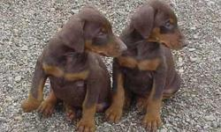 doberman puppies for sale purebred, tail docked already ,  first shot and deworming,  3 males and 2 females available , $250   each   please  call or text  915 243 38 37  el paso texas