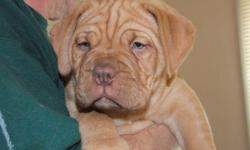 We are a small breeder located in a small town in upstate New York. We produce only one or two litters a year. All of our Dogues are raised inside our home. Our Dogues either have championship or excellent lineage. We breed for health and temperment. Our