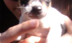 Dot is a female CKC registered mini/toy type A tri color natural bob tail. Born 2/25/11 she will have all shots and wormings. She can fly Delta Air for an added fee.