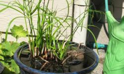 """This plant grows in water to about 30"""" in height. The leaves are in a spray from the very top."""