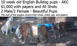 2 Male English Bulldogs - AKC Papers 6 Months old - Brindle and White              Lemon and White All shots and wormed for $500 with papers Leave a message please @ --