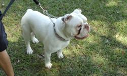 Champ is a purebreed 1yr.old Male. He is playful,friendly,loyal great with kids as well with other dogs. For all you Georgia Bulldog Fans. He looks just like UGA! In perfect health, all shots are up to date.