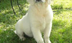 This gorgeous guy comes with Full AKC Registration for only $1200.00. He is a white Full English Golden Retriever that comes from champion lineages. Great Grandparents are imported from The Netherlands. He may be the last one left, but I think he is one