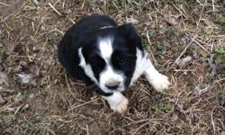 AKC 7 weeks old black and white males and females    Sir Lancelot Farms Tammy May 870 215 1576  $500  tails docked vet checked dew claw done    dewormed and first shots already given   parents on premises great family