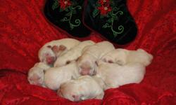 Beautiful White Full English Puppy! Will be 8 weeks old 1/05/2011. He is $1500.00 for Limited Reg. or $1800.00 for Full Registration. Check out web site for more information and other puppies that are available. Shipping is $375.00 We Specialize In