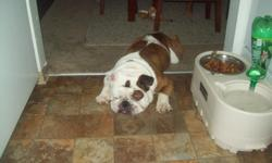 Sunny a 4 year old male white and brindal englishbulldog great with people wonderful with children.weight 60pd. 18 inches tall 30 in. head 40 in. chest. looking to continue blood line.
