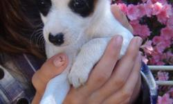 Eyes Wide Open is a male standard type A tri color CKC registered rat terrier. Born 2/25/11 he will have all shots and wormings. He can fly Delta Air for an added fee.