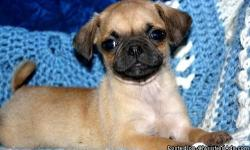 Fawn,black mask pug puppies.FROM PEGGIE SUE AND MAX (48 CHAMPION BACKGROUND) PLEASE VISIT MY WEBSITE FOR PICS OF MOM AND DAD, REFERENCES, SHIPPING INFO. WEEKLY UPDATES PROVIDED TO NEW OWNERS, HE IS READY FOR HIS NEW HOME! SWEET, SWEET LITTLE MAN. HAPPY