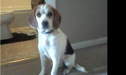 1 year old female beagle... not fixed.. good country dog.. great with other dogs... black, brown, and white. has her shots and been wormed. She is a rescue dog and also has pups for sale! miislove713@hotmail.com or (573) 218- 2056