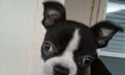 Born 24Dec10 Small Black and White(Classic Boston Colors!)Female puppy. I am only asking $150.00 to cover the money I have invested in her and because she is not registered. She is a pure-blood, both of her parents are pure blood. I am willing to deliver