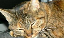 Here is a photo of my sweet cat, Tawny Rose. She was lost on Thursday the 31st of May in Coleman, Texas or nearby when we were unaware.  We were traveling through to South Texas. It was at least an hour before we missed her, as she is a