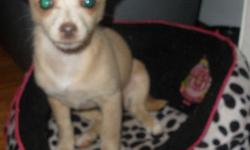 i have a female 12 week old chiuahuah puppy, she is ckc registerd. her color is a real pretty tan. she will weigh about 6 to 7lbs fully grown if that. her dad was applehead and her mom was deerhead but she took after the dad. if your intrested please