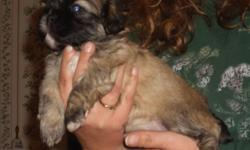 I have 1 female shih-Tzu puppy left. UTD and using pads and outside. Very smart little girl !! Would make someone a great Christmas gift. Feel free to call me or e-mail for more inforamtion on her. MERRY CHRISTMAS !! Bridgett 931-853-4102 or e-mail