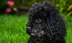 found black poodle on dec. 28 2010 in the morning .He is relly skinny ,has a green colllar please come to 1430 12th avenue if he is your dog . we will apreciate if you do.he is trying to hump my dog and get her pregnet.he misses you alot .He cries for