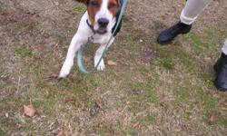 Basset/Beagle Mix Male dog.About 6 or 7 months.Good with children.