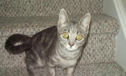 Free female cat, 7 months old, spayed and up to date on shots. Grey/cream with tabby markings. New Milford, CT area.