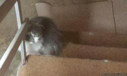 We have three cats that are all 4-5 years old. The first one, Wendy is gray and white, fully clawed and was rescued from a shelter three years ago. She is a wonderful cat, a great mouser and very friendly. The second cat is a full blood Persion named