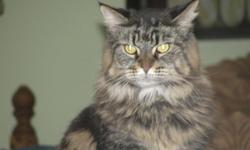 FREE FEMALE MAINE COON CAT WITH PAPERS TO GOOD HOME 957-5446