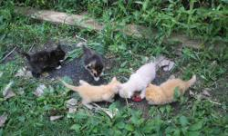 Very loving friendly kittens. Some are long hair some are short hair. Only have 5 to choose from. Please call to see in Albany, Indiana. 765-717-1025