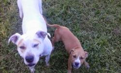 My landlord wont let me keep my puppy. Im a pet lover i have too many dogs. He a 12 week full blooded blue fawn pitbull. Hes a great dog. Very energetic. All shots up to date. Dewormed and healthy. Requires a $100 rehoming fee. Call .