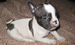 Female 7 weeks old.AKC reg. Pied. very sweet and playful.