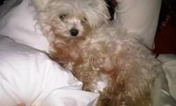 PLEASE help us find our missing teacup Maltese. She escaped from our yard without her collar on Christmas Eve in the Colony Creek subdivision in Spring, Texas. We would love any information you may have. Call 561 688 4800 Reward!