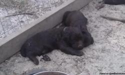 These puppies are full blooded, but are not registered. They have been wormed and have had their 7 in 1 shots.