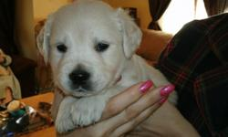 full english cream golden retreiver puppies. 5 weeks old males only. family raised looking for their homes! look like little polar bears and our as sweet as can be champion lines
