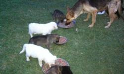 i have 7german sheperd puppies 3males and 4 females they have theyre first set of shoots and they have been deworm,there is 2 white females,2silver,2 black and tan males and 1 silver the mother is registered akc. and the father is wkc. the puppies can be