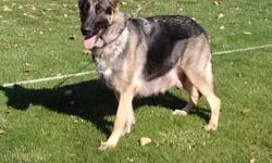 GERMAN SHEPHERD AKC. BEAUTIFULFEMALE 2 YEARS OLD WEST GERMANY BLOOD LINE SHOW LINE. EXCELLENT WATCH DOG & GOOD TEMPERAMENT. GOOD FOR BREEDING.