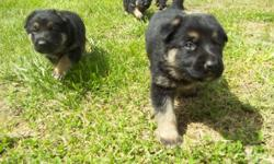 Born April 5th. Big beautiful puppies. Excellent working line. If interested please email me at pink4441@hotmail.com