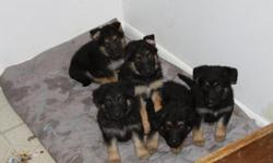 we have 5 german shepherd pups 2 Boys 3 Girls mom and Dad are on sight they are not paperd but are 100% german shepherd.They have had there 1st set of shots and have been dewormed. Call 303-922-0947 ;0)