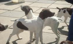 AKC register GSH pups. Excellent purebred blood line! I have 8 pups both male and female. They were born 11-7-10 and have had all shots, wormed, dew claws removed and tails docked. They were family raised with their parents. These pups will make good