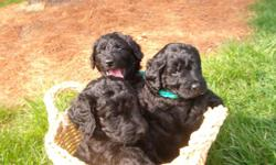 F1B CKC Male Goldendoodle black will be a large dog he is non shedding home raised very smart eight weeks old loves to play outside crate trained potty training started vet check and first shots by vet call for a in home visit to check us out 513-367-6597
