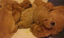 goldendoodle puppies born: April 24,2011. 13 in total 8-girls and 5-boys Puppies are f1b goldendoodle's and puppies are raised in our home and are handling on a daily basis with the help of our children..Puppies are ready for new homes by the end of