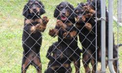 Gordon Setter Puppies, AKC Registered, Champion Bloodline, Dewclaws Removed, Shots, Wormed, 2 Males, 1 Female left, Outstanding Bird Dogs, Excellent Family Pets, $600 Call Rick 561-688-3000